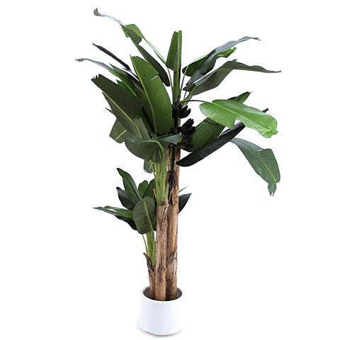 Europalms Bananenbaum